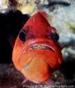 Cardinal Fish breeding Eggs