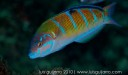 ornate wrasse speed