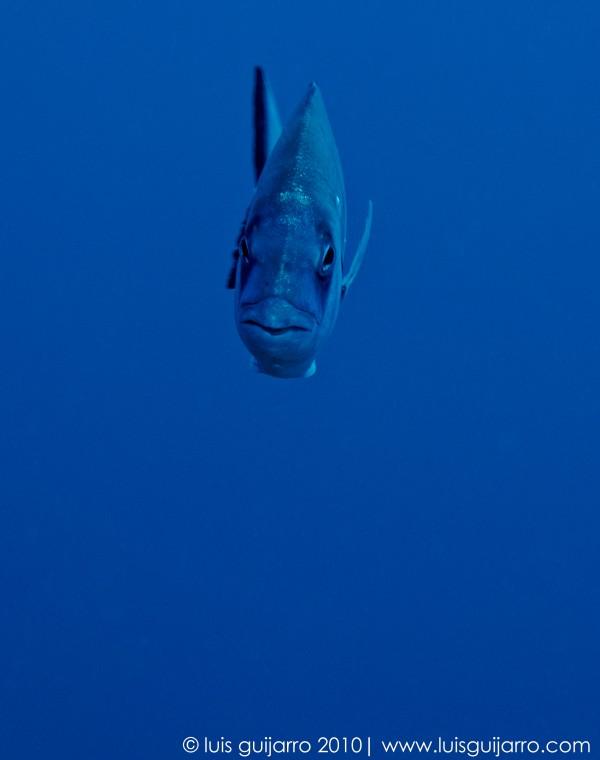White Sea Bream Frontal Portrait