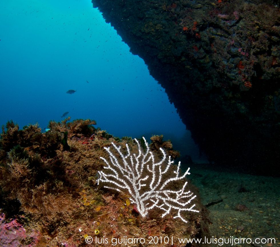 White Gorgonian at Cave