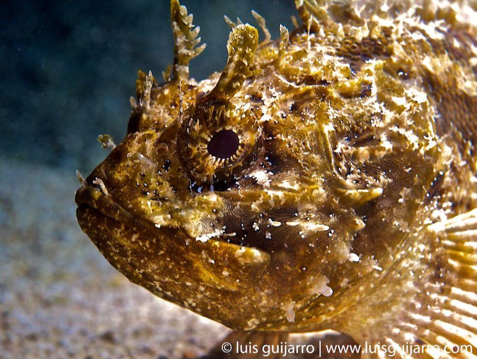 Mediterranean Scorpionfish Portrait