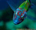 Ornate Wrasse Portrait